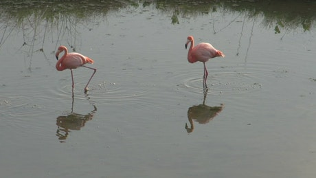 Flamingos walking in the water