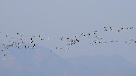 Flocks of birds flying in the sky