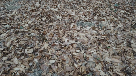 Floor of a forest of tall trees covered with dry leaves