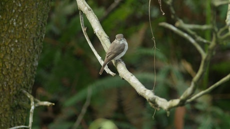 Flycatcher in a forest