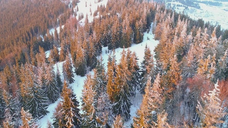 Flying a dry pine forest in winter