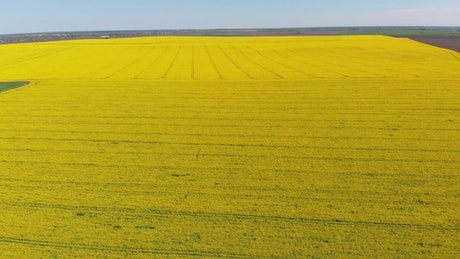 Flying over a canola field