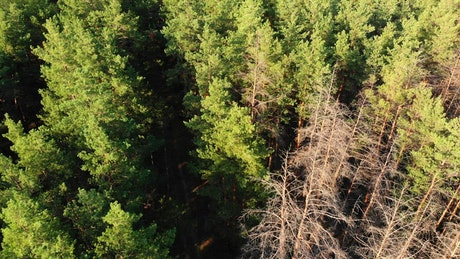 Flying over a green pine forest in the morning