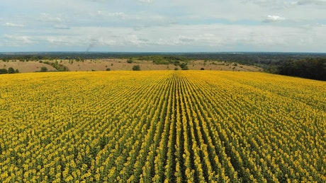 Flying over a large sunflower field