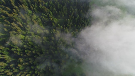 Foggy pine forest, top aerial shot