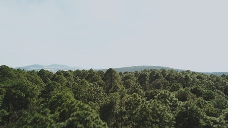Forest treetops