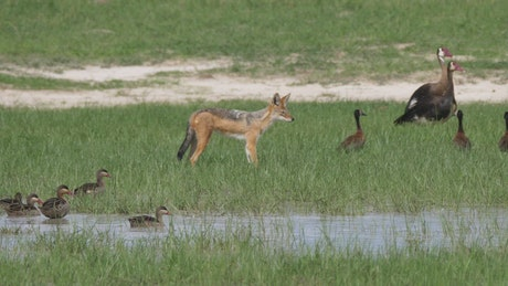 Fox hunting birds in a pond