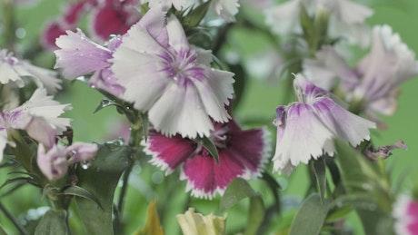 Freshly watered lilac flowers