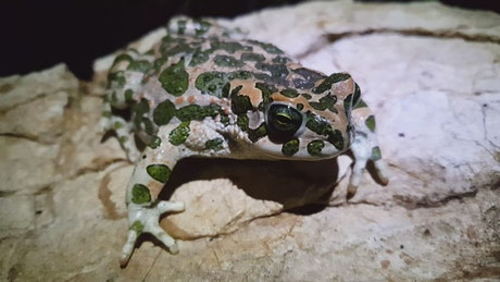 Frog with camouflage pattern standing on a rock