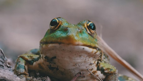 Frontal portrait of a frog breathing
