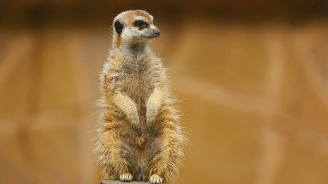 Furry meerkat looking out