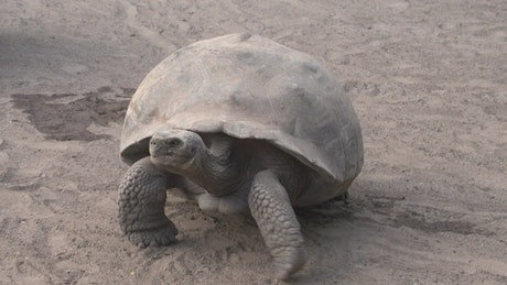 Galapagos tortoise fighting on the ground