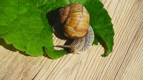 Garden snail eating a leaf