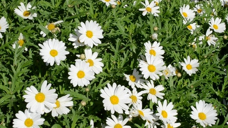 Garden with common daisies on a sunny day