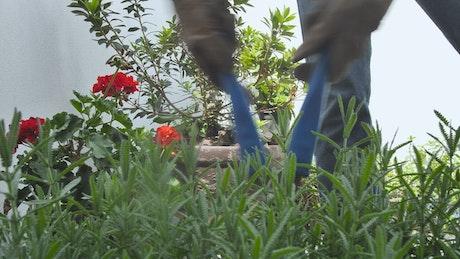 Gardener fixing a bush in a garden