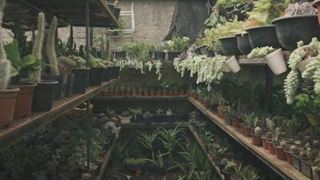 Gardener shelving potted plants