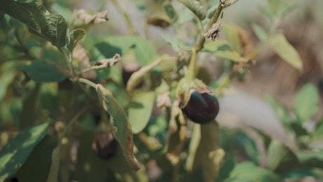 Gardener tending to eggplant