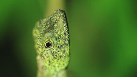 Gecko slowly turning