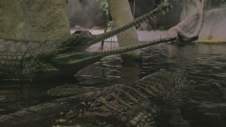 Gharial sitting with open jaws