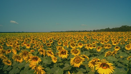 Gigantic field of sunflowers on a sunny day