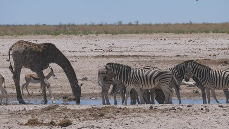 Giraffe and a herd of zebras scare up on a waterhole and run