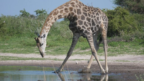 Giraffe drinking from a pond