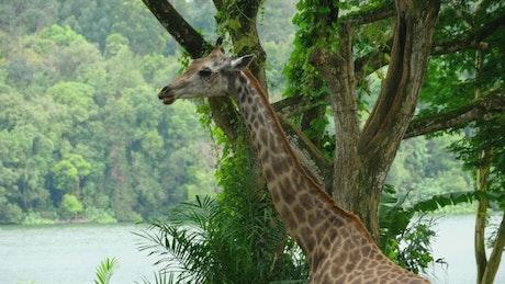 Giraffe in natural environment