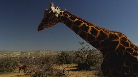 Giraffe walking in the desert