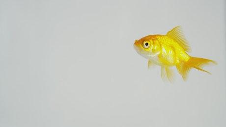 Glodfish swimming