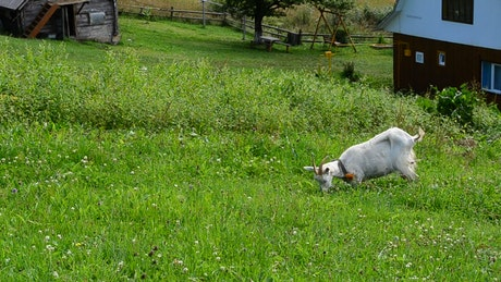 Goat eating grass in a meadow