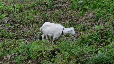 Goat eating in a meadow