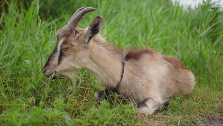 Goat grazing while lying in the grass