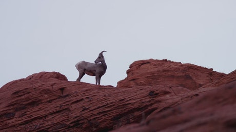 Goat on top of a rocky hill