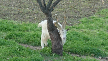 Goat scratching on a tree trunk