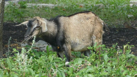 Goat standing in the field