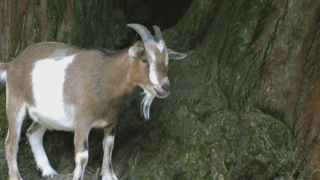 Goat with small horns