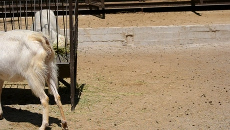 Goats eating at a farm