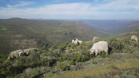 Goats grazing in the mountain