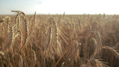 Golden tops of wheat
