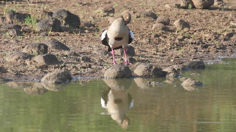 Goose standing on the shore of a lake
