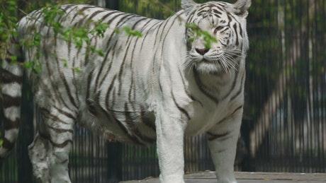 Gorgeous white tigress walks