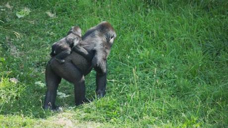 Gorilla monkeys at a safari park