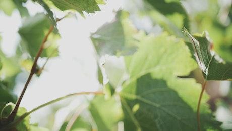 Grape leaves after harvest