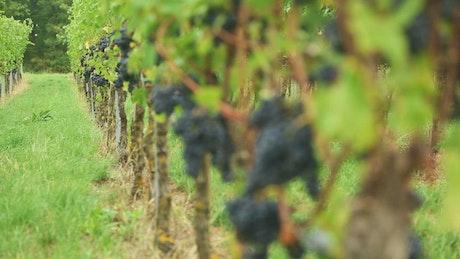 grape trees at the vineyard