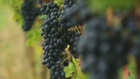 Grapes clusters at the vineyard