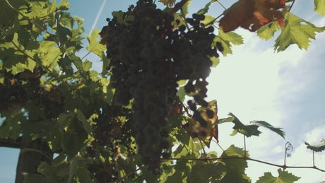 Grapes growing in the sun
