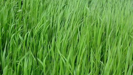 Grass after rainfall