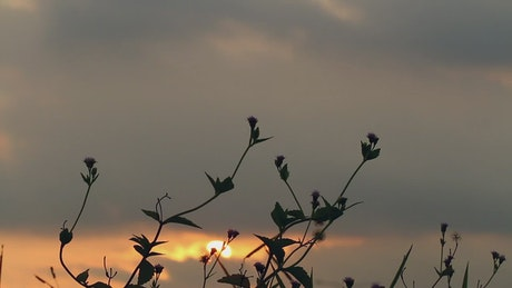 Grass silhouetted against the sunset
