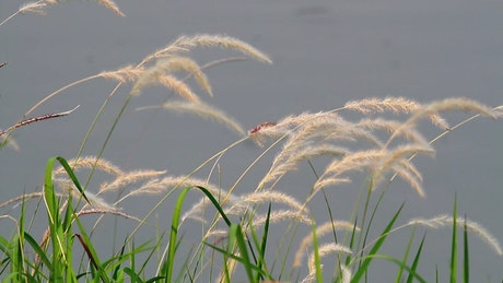 Grass swaying by a lake
