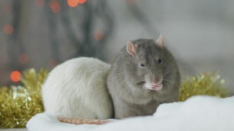 Gray and white rat
